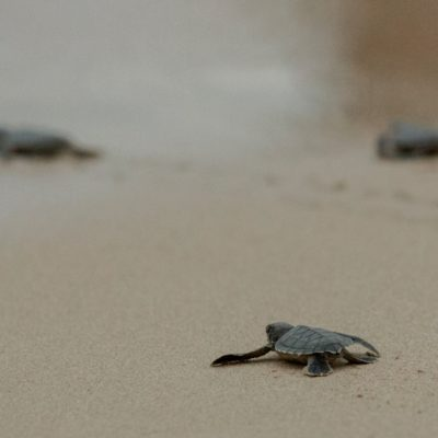 800_7510-turtles-barbados-hatching-gallery